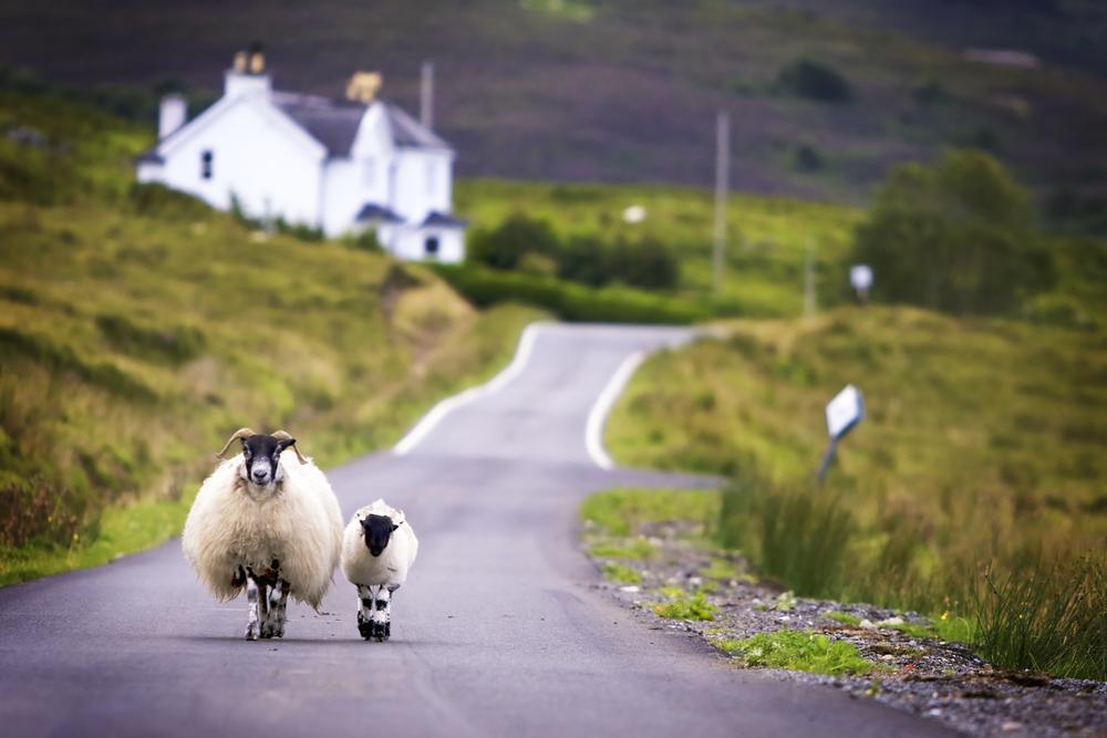Moutons sur une route en Ecosse - Copyright: Lichtmeister/shutterstock
