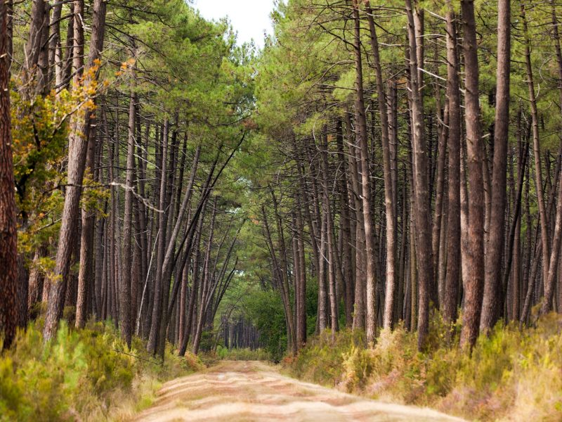 Une forêt de pins, en Gironde. Photo Shutterstock